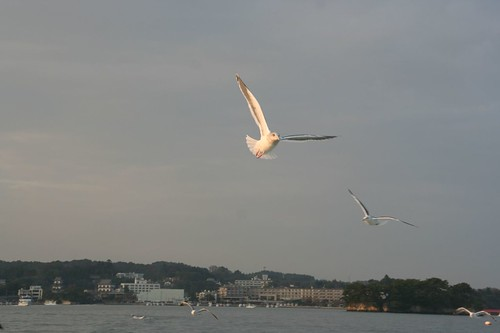 松島灣的海鷗
