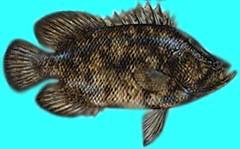 pez agua dulce