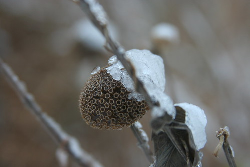 Snow on seed-head