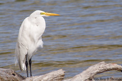 20061123_GreatEgret