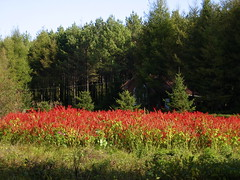 Red flowers at Shizui Mountain - Shangzhi