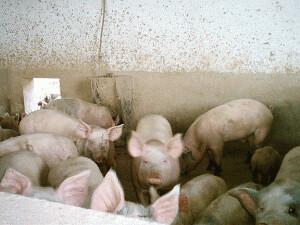 Ascoltar con gusto: o dell'estasi del maiale