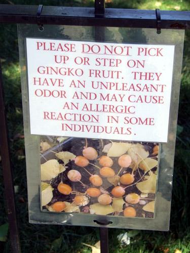 Dangerous ginkgo 3