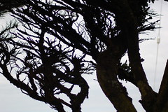 cypress branches silhouette