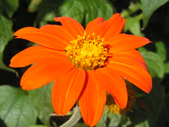 Orange Flower photo by John of Witney