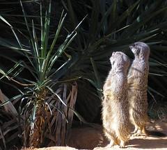 9/8/06: Meerkats I