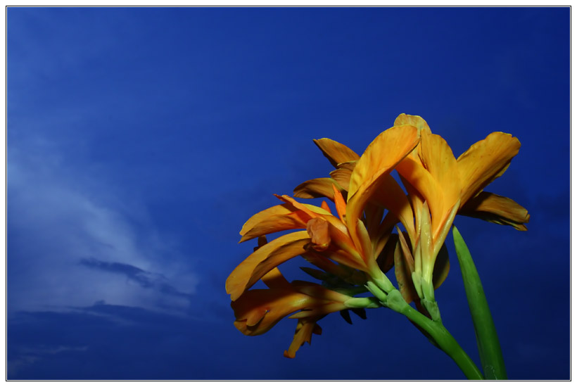 Lily Against Sky