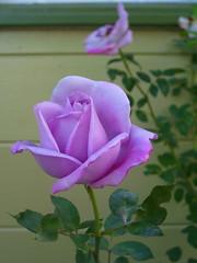 pigtails_rosebush