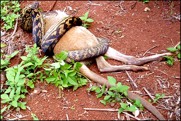 Snake Swallowing Kangaroo 2