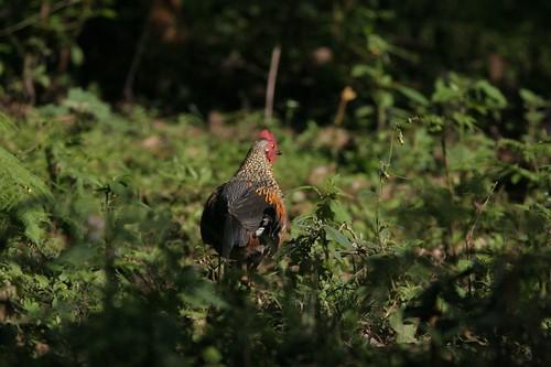 IMG_0171 Jungle Fowl