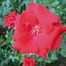 Rose (4619)
