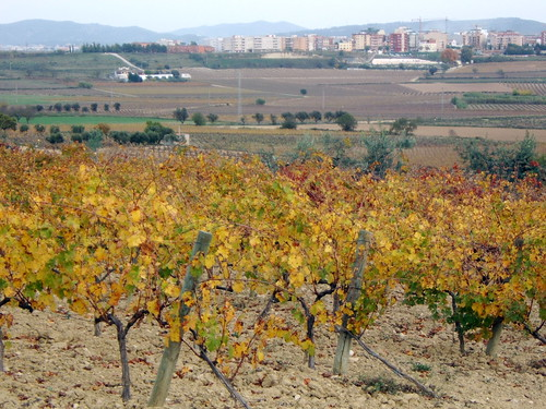 Autumn Vineyards, Vilafranca
