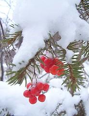 Winter berries photo by angelstar232