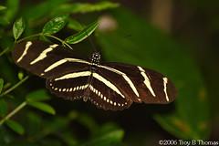 20061125_Zebra