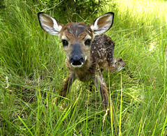 newborn fawn just 2 minutes after birth photo by slopjop