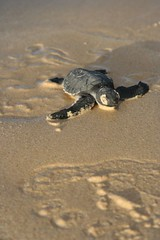 Baby Turtle Almost There