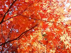 Red Leaves - Odaiba - 9