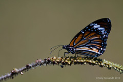 Plain Tiger ( Danaus chrysippus) photo by Tony Fernando