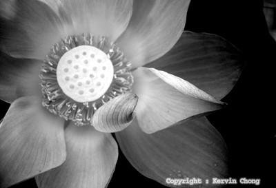 Lotus-BW