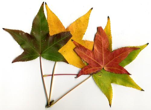 Autumn Leaves015