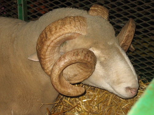Look at the curls on that ram!