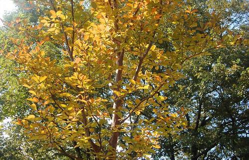 ★庭のシャラ(沙羅)の木とトリカブト