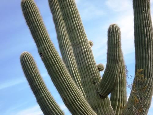 saguaro buds2