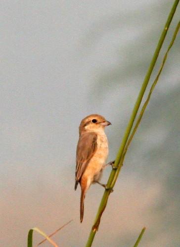 IMG_0194 Juvenile Rufous-tailed Shrike