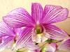 Dendrobium 'Hiang Beauty' / 'Stripe Thailand'