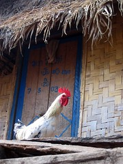 Rooster by a door in Nalan Khmu village - Nam Ha River