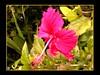 More Island Hibiscus