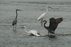 Heron Fight