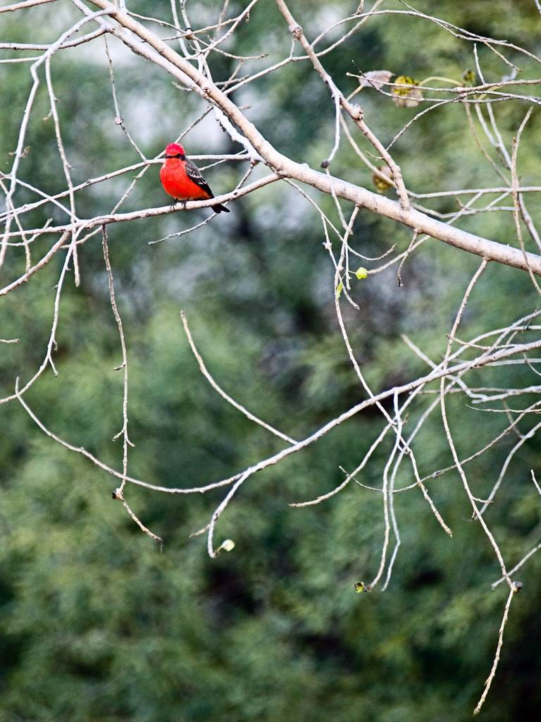 Colorful Red Bird