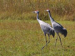 Sandhill Cranes - 29 Oct 2006