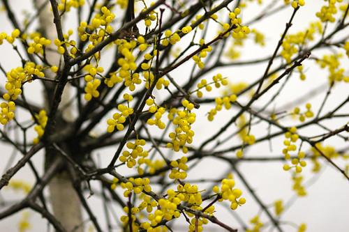宿り木(穂咲き)
