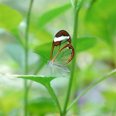 glasswing02
