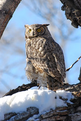 Great Horned Owl DSC_0059 photo by Ron Kube Photography