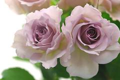 rose form2