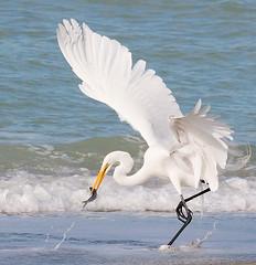 Great Egret photo by Bill Walker