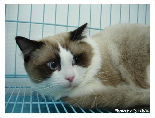 布偶貓MATT