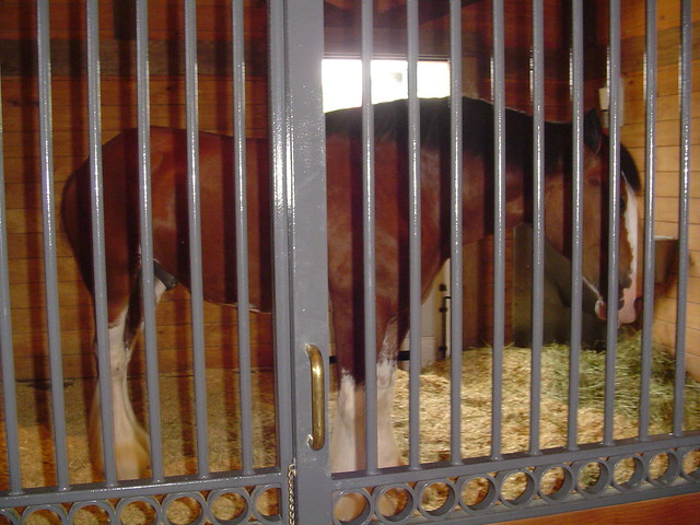 The Biggest Horse In The World. Clydesdale Horse - one of the
