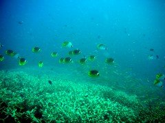 School of Butterflyfishes