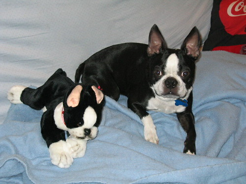 Joey and the only other Boston Terrier he ever wanted to live with