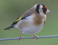 Goldfinch (Carduelis caduelis) photo by Mull birds