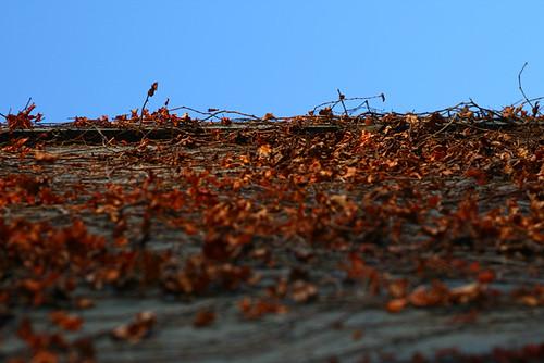 Leafy Vines 0994