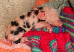 Peggy's piglet 1