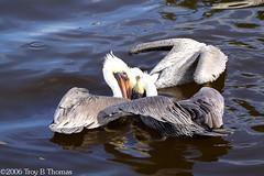 20061213_EvergladesPelican06