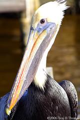 20061213_EvergladesPelican08