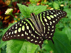 Tailed Jay (Graphium agamemnon) photo by Tjflex2
