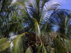 pokok kelapak